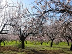 22.tn-sping_almond_blossom.jpg